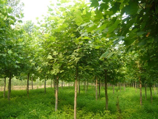 法国梧桐树皮褐色排成总状圆锥花序