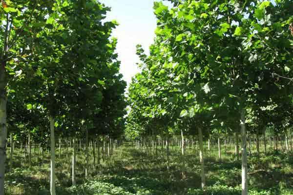 法国梧桐枝繁叶茂四季常育珍贵耐阴观叶树种