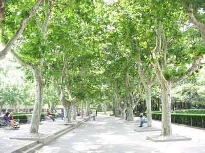 法国梧桐植株地可露地栽植温室越冬