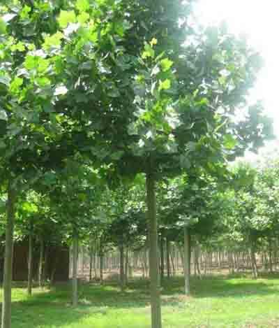法国梧桐树冠庞大树姿雄伟校繁叶茂