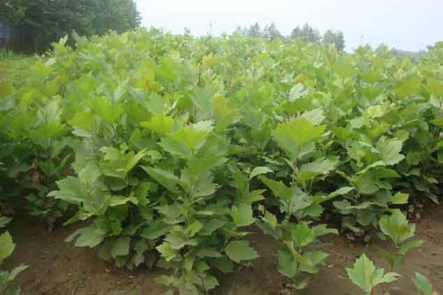 法国梧桐旱季要及时浇水灌溉加强抚育管理
