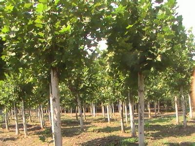 法国梧桐树形优美树干光滑洁净