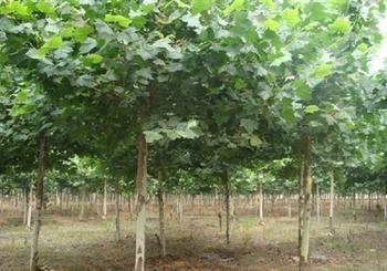 法国梧桐苗木因遮荫冬季用土埋防寒物需要