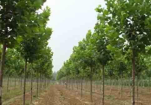 法国梧桐开放叶子很快执行光合作用功能