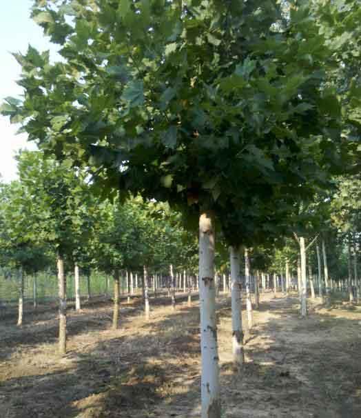 法国梧桐移植土地育苗要求土坡深厚
