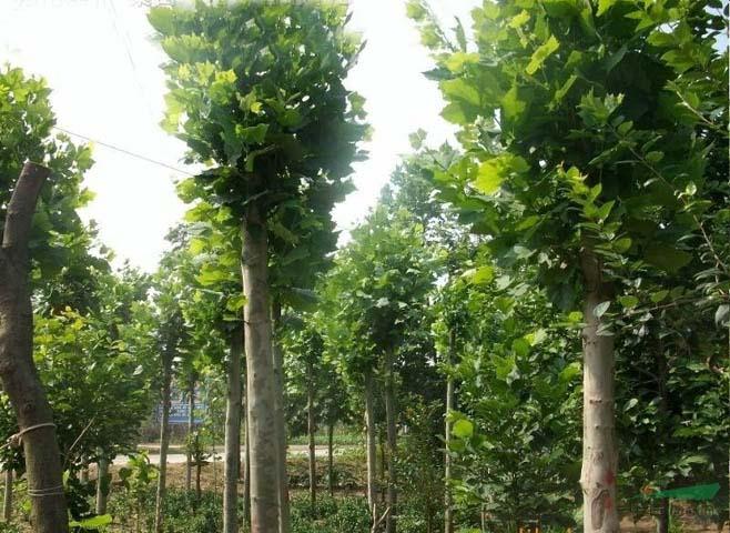 法国梧桐落叶培育技术高接繁殖