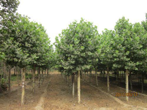 法国梧桐生长苗木移植后经缓苗期