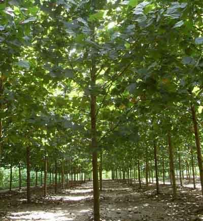 法国梧桐生长压条法扦插加强肥水管理