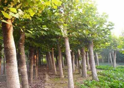 法国梧桐生长前期经常浇水保持土壤湿润