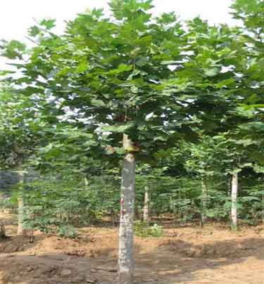 法国梧桐移植单株树根系生长好