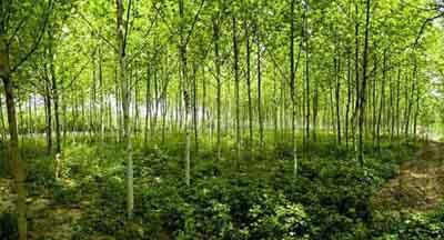 法国梧桐生长芽获得较多的养分
