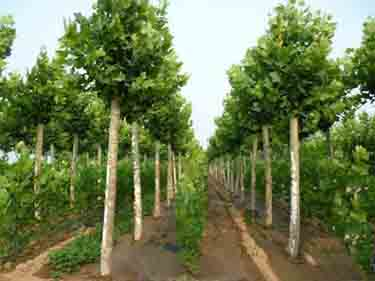 法国梧桐植物发育种子起源物种