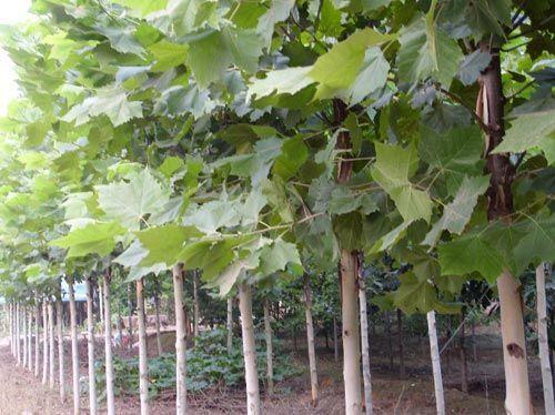 法国梧桐较长时间保持土壤湿润状态