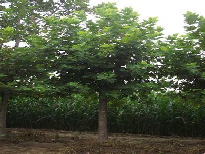 法国梧桐春季萌发顶芽着生在枝条顶端