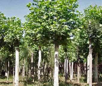 法国梧桐树种整形大苗带泥球移植