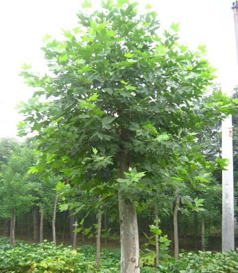 法国梧桐树干挺直树冠幼年期尖塔形