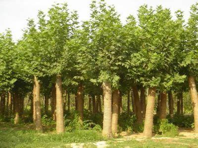 法国梧桐苗木保证根系与土壤密接