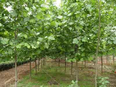 法国梧桐生长情况进行分级栽植