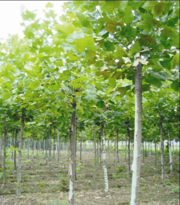 法国梧桐生长季健壮幼年母树