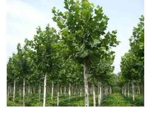 法国梧桐从根上萌出的枝条