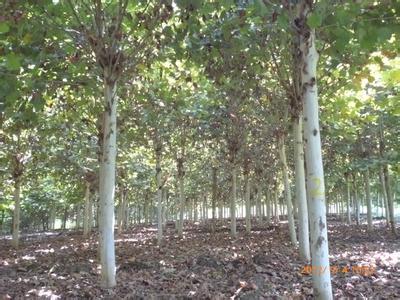 法国梧桐压条管理保持土壤的湿润经常松土