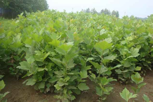 法国梧桐芽接培育夏秋季定植标准