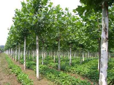 法国梧桐苗木枝下高冠幅作为质量标准