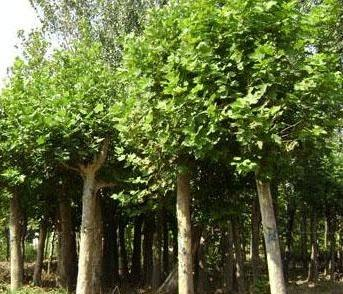 法国梧桐育苗栽培乔木树冠圆形