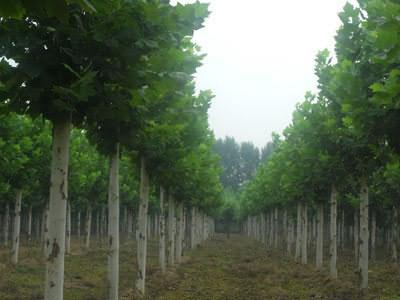 法国梧桐间苗播种小苗最佳营养空间