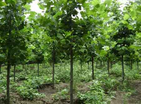 法国梧桐苗木节省养分和整形上需要