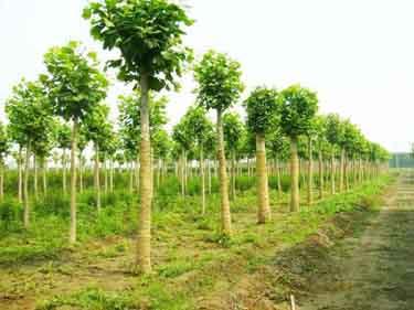 法国梧桐扦插在疏松的苗床上栽培
