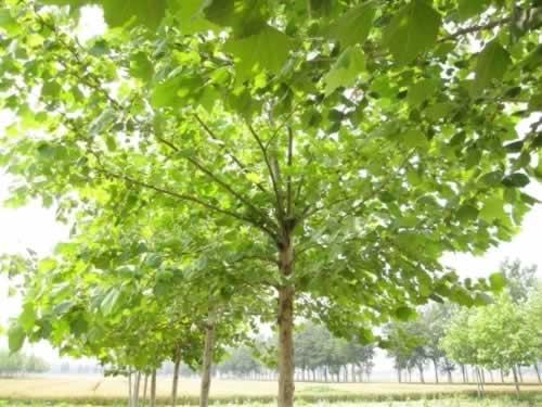 法国梧桐枝条拱形开展早春花先叶开放