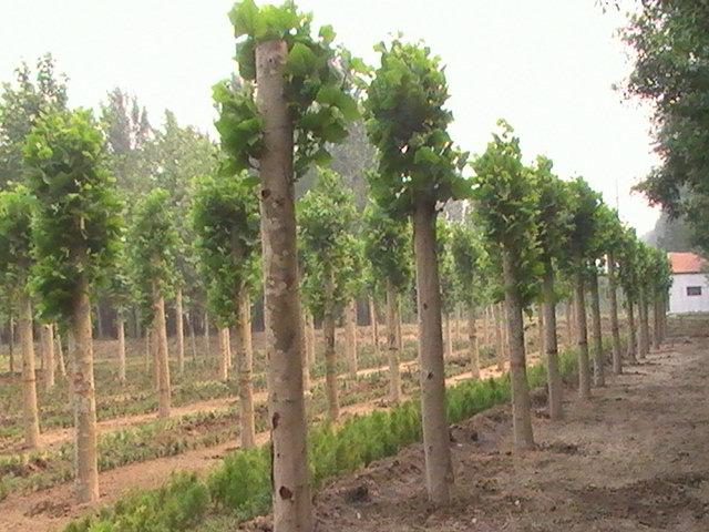 法国梧桐植物密度空间的垂直面进行围合