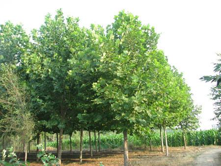 法国梧桐苗干节省移栽用工改良土壤