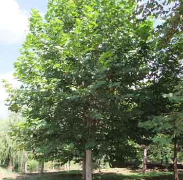法国梧桐树冠开张排水良好土壤