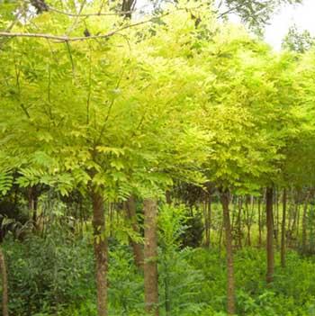 法国梧桐枝叶多水分蒸腾量大加上主根长