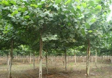 法国梧桐育苗特点根系发达枝叶较多