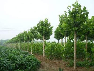 法国梧桐树姿美观花繁叶茂花序大