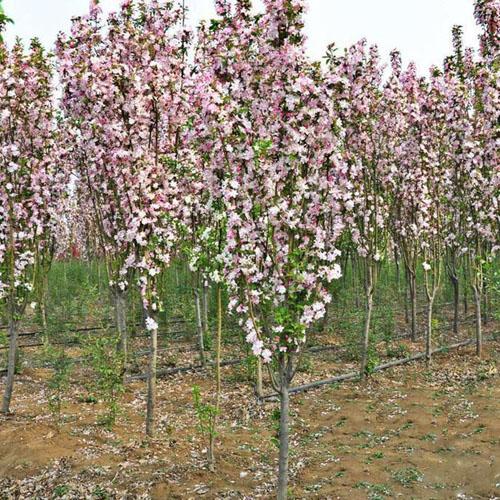 海棠观叶树以控制侧枝生长促进主枝生长