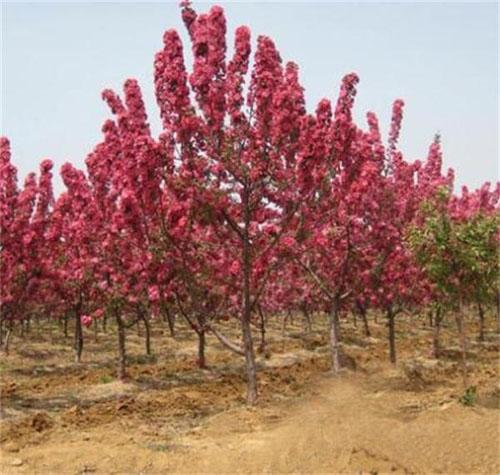 海棠植物形象优美色彩协调景观效果良好