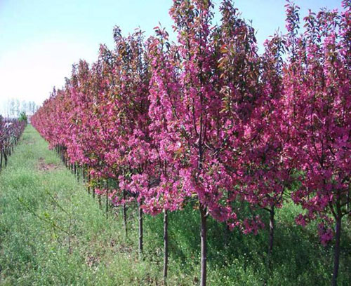 海棠栽植秋季分株后假植