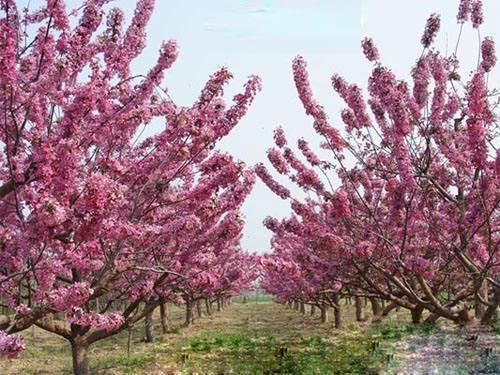 海棠园林树木各器官的生长发育