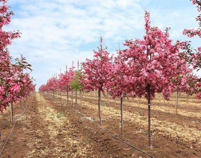 海棠栽培管理生长发育期间浇水次数应随天气变化