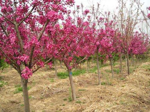 海棠树木先灌足水然后填满土