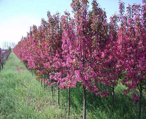 海棠优良品种旺盛生长的植株