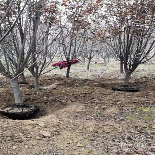 海棠促进插穗生根的方法
