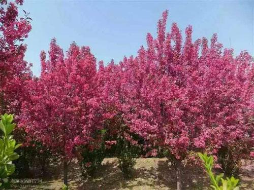 海棠木的种植设计枝条密集树叶满布