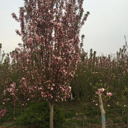 海棠树木光照长度因素包括光照强度