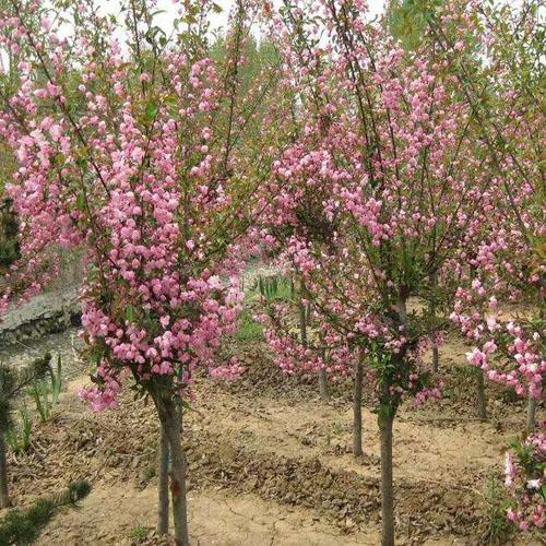 海棠苗木挖穴根系舒展和生长