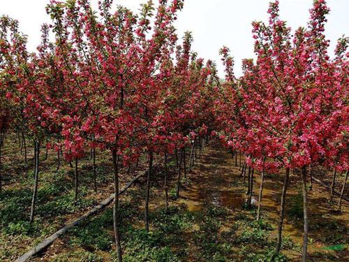 海棠育苗移植苗木时在苗床